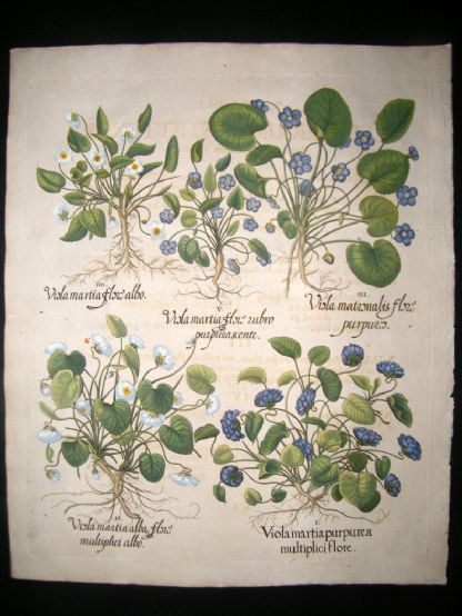 Besler 1713 LG Folio Hand Colored Botanical Print. Sweet Violets | Albion Prints